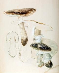 إحدى رسمات بياتريكس بوتر التي تمثل دراساتها العلمية الغير معروفة للفطر.